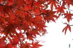 Red Maple, fall 2011. (Courtesy Acer Rubrum glamour-shots)