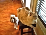 Kitty, right, (2012) with canine housemate. (Perched Feline Photo Service)