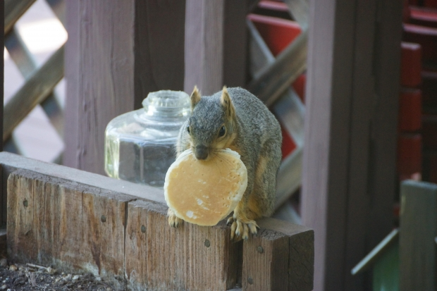 Squirrel pancake