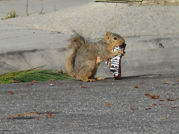 Squirrel hershey bar